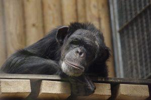 John de croupier aap overleed te vroeg aan een hartaanval